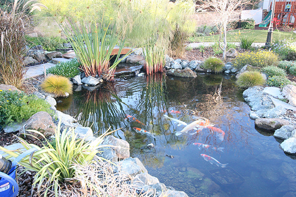 San Jose Pond With Waterfall And Tse Koi Filtration System Pond Magic Custom Ponds Waterfalls Landscaping And Aquascaping For Santa Cruz Monterey San Jose Santa Clara And San Francisco